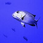 Bigeye Emperor Fish in the Red Sea by SerenaB