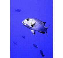 Bigeye Emperor Fish in the Red Sea Photographic Print