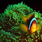 Anemone Fish in Green Anemone by SerenaB