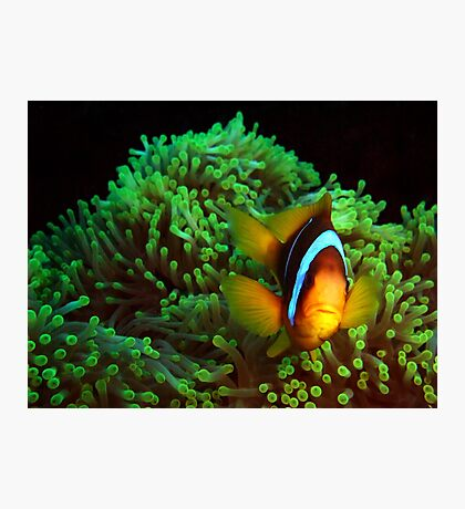 Anemone Fish in Green Anemone Photographic Print