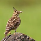 Malabar Crested lark by upadhyay