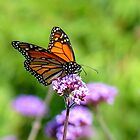 Autumn Beauty! - Monarch Butterfly - Otago - NZ by AndreaEL