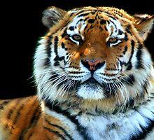 Sumatran Tiger - Panthera Tigris Sumatrae by SerenaB