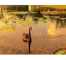 Symbol of West Australia, the Black Swan Photographic Print