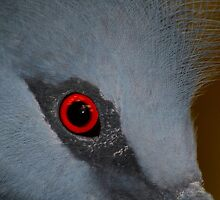 Victoria Crowned Pigeon Eye by SerenaB