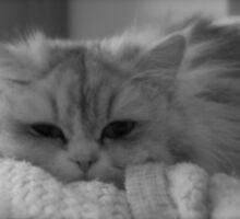 Chinchilla Cat by Lou Wilson