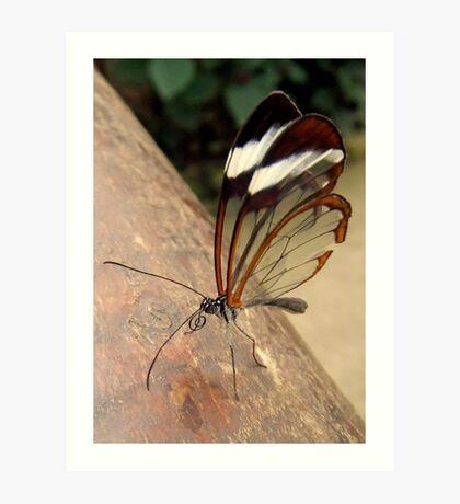 Glasswing Butterfly (G-clef proboscis) Art Print