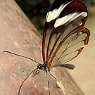 Glasswing Butterfly (G-clef proboscis) by Michaela1991