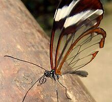 Glasswing Butterfly (G-clef proboscis) by Michaela1991