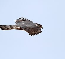 Natural Born Killer / Mature Coopers Hawk by Gary Fairhead