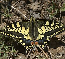 Old World Swallowtail, Papilio machaon, Tajikistan by Michal Cerny