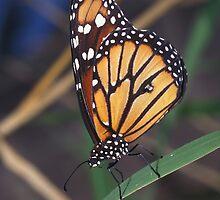 Monarch butterfly, Danaus plexippus, Venezuela by Michal Cerny