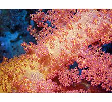 Close up of Pink & Yellow Soft Coral Photographic Print