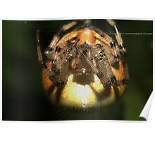 Four-spot Orb-weaver, (Araneus quadratus), Czechia Poster