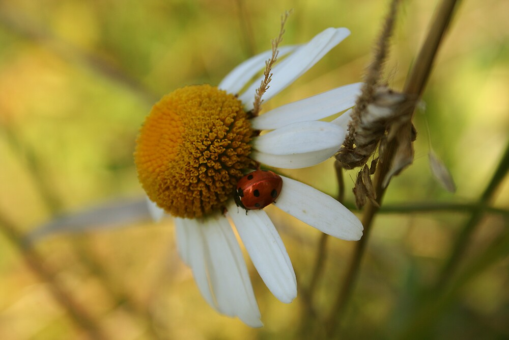 Ladybugs and daisies - Byåsen, Trondheim by Silje Schanche