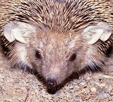 Long-eared desert hedgehog, Hemiechinus auritus, Mongolia, Gobi desert by Michal Cerny
