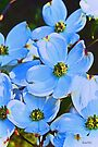 Blue Dogwood by Terri Chandler
