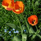 Three Tulips by StephenRB