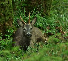 Roebuck by Russell Couch