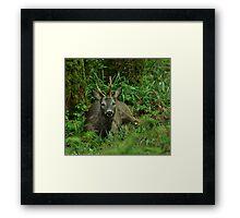 Roebuck Framed Print