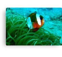 Madagascar Anemonefish Canvas Print