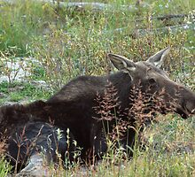 Resting Moose by J. L. Gould