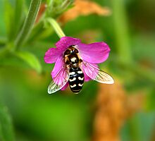 Hover fly by Jacqueline Hill