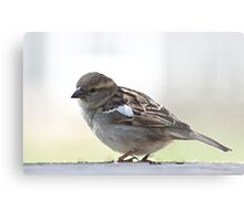 Sweet little female house sparrow Metal Print