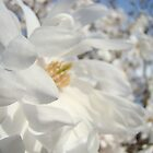 White Floral art Magnolia Flowers Landscape Blue Sky Baslee Troutman by BasleeArtPrints