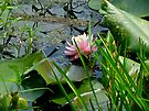 Lily Pads and Pink Water Lily - Nymphaeaceae by MotherNature