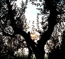 Tree Silhouette - Fiesole, Italy by Britland Tracy