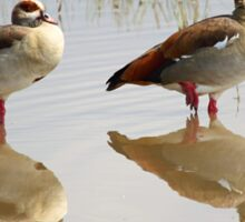 Egyptian Geese Reflections Sticker