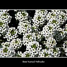 White Alyssum by Rose Santuci-Sofranko