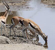 Thomson's Gazelles at the Moru River, Serengeti, Tanzania by Carole-Anne