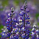 Alaska Lupine by Nick Boren