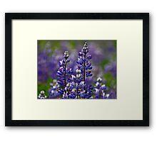 Alaska Lupine Framed Print