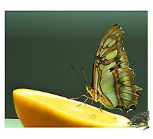 Butterfly Nectar Photographic Print