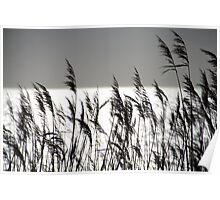 Reed by the Sea - Langeland, Denmark Poster
