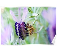 Bee collecting pollen from Lavender Poster