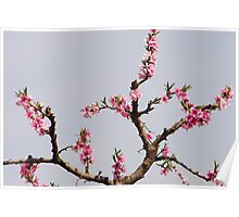 peach trees Poster