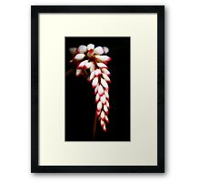 Tropicana - ginger flower in my Innisfail garden. Framed Print
