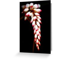 Tropicana - ginger flower in my Innisfail garden. Greeting Card