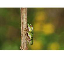 European Tree Frog(2cm) Photographic Print