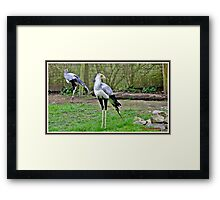 """Daddy long legs"" Framed Print"