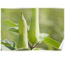 macro shot of Datura stramonium,thorn apple. Poster