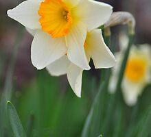 Daffodils by mltrue