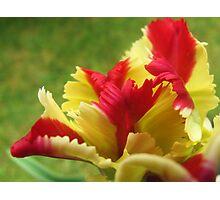 Feathery Tulip Photographic Print