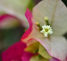 Bougainvillea macro 1 by Ranbir Singh