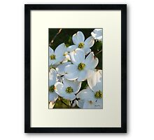 White Dogwood Raw Framed Print