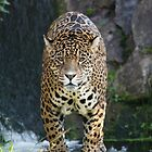 Male Leopard by Franco De Luca Calce